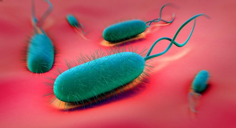 strain Escherichia coli (E. coli)