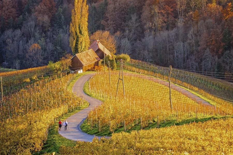 Kebun anggur di Maribor