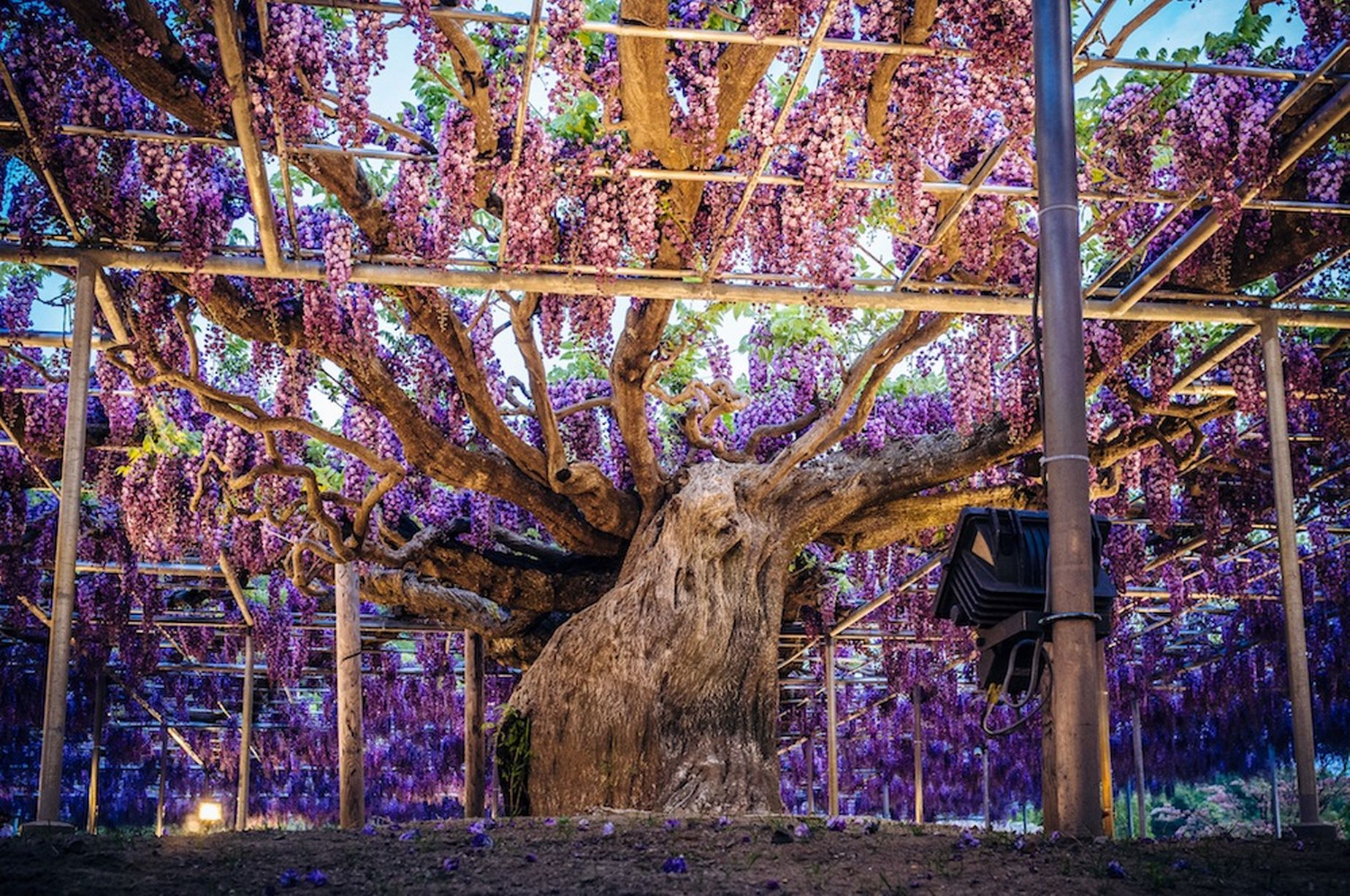 Indahnya Bunga Wisteria di Taman Bunga Ashikaga image