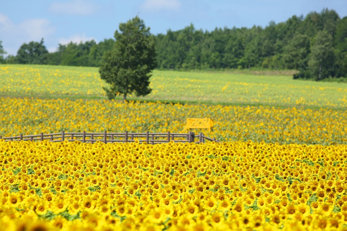 Cerahnya Musim Panas di Festival Bunga Matahari Hokuryu image
