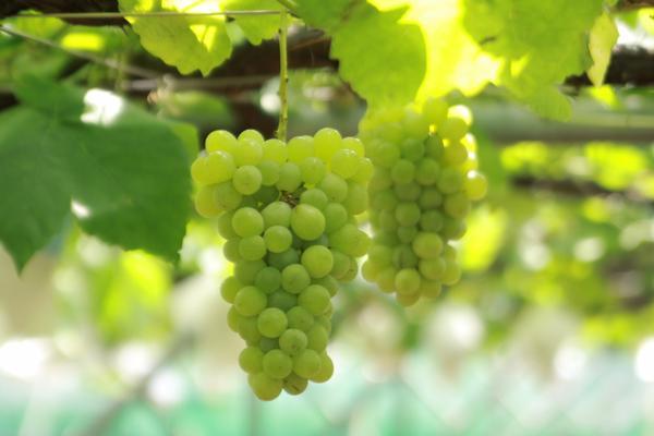 5 Tempat Wisata Petik Anggur Saat Musim Gugur di Jepang image