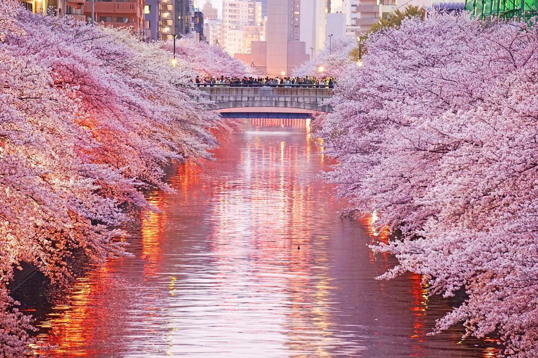Prakiraan Jadwal Sakura Jepang 2020 dan Spot-spot Terbaiknya image