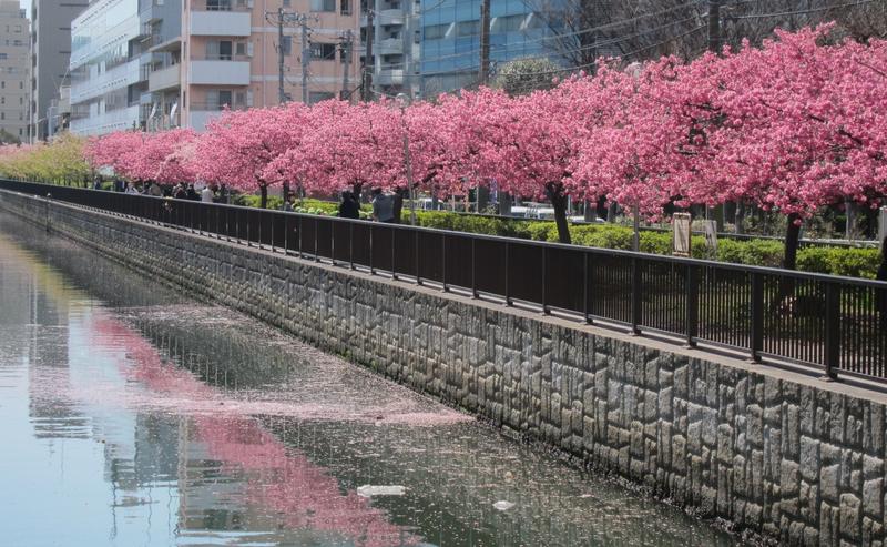 Menikmati Sakura Bulan Februari di Tokyo image