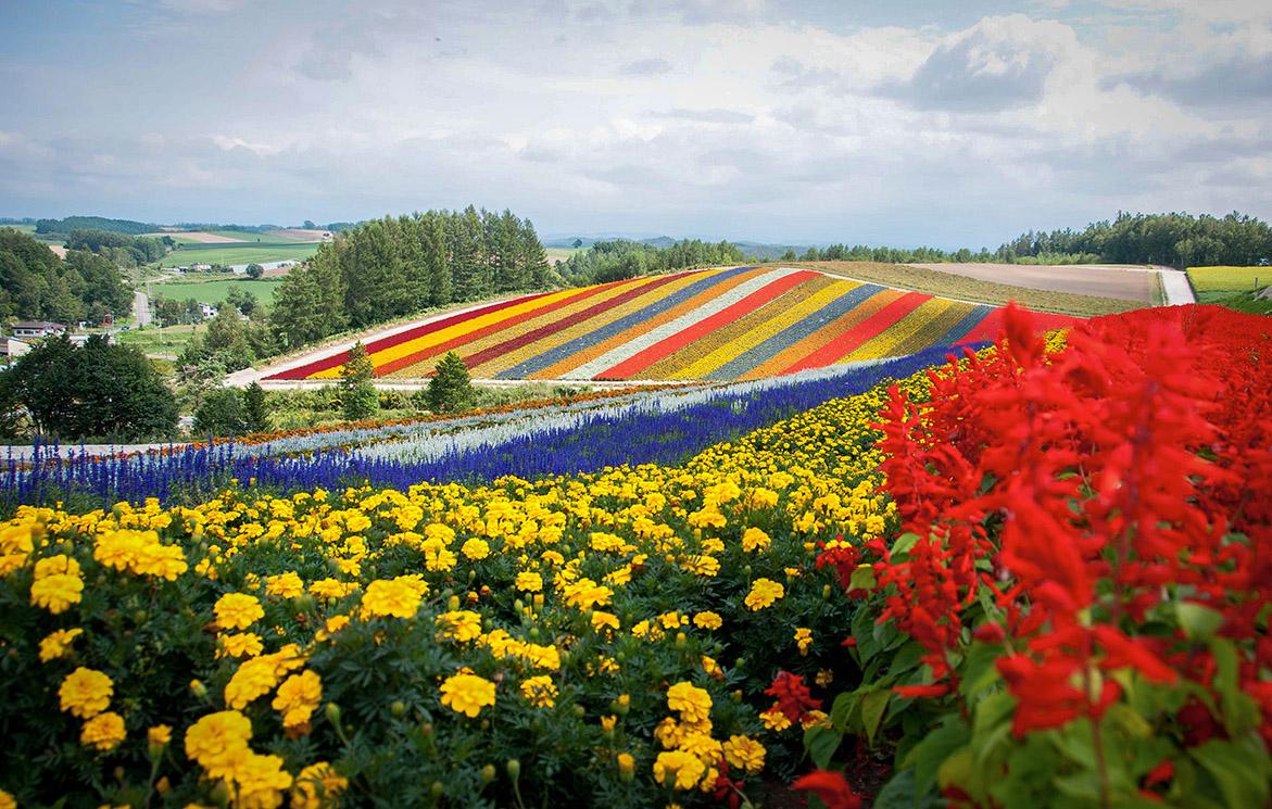 Hamparan Bunga bak Pelangi di Bukit Biei image