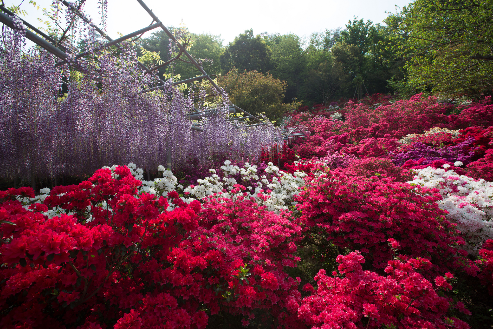Indahnya Bunga Wisteria di Taman Bunga Ashikaga