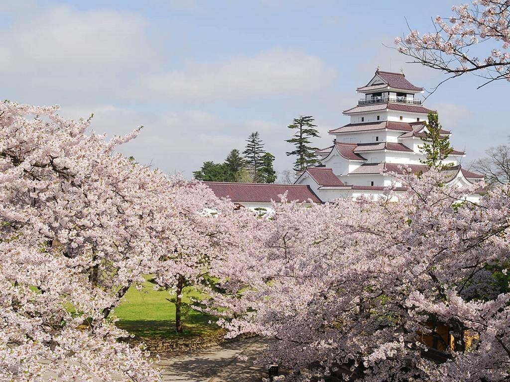 Kastil Tsuruga dan bunga sakura