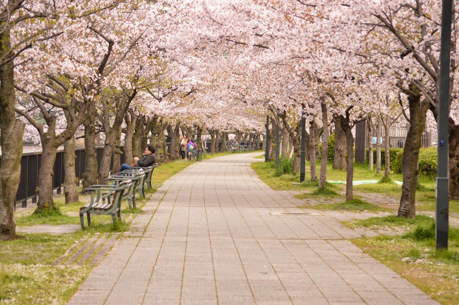 Sakura Jepang 2019