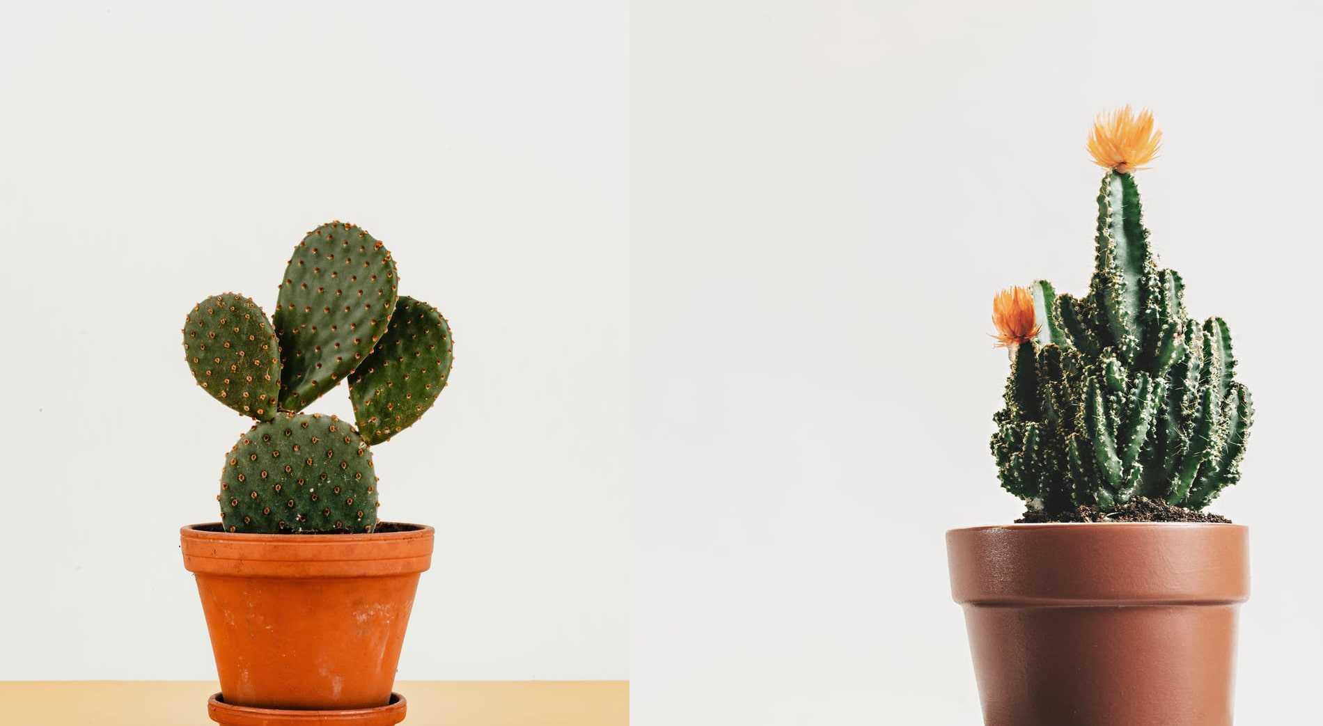 kaktus mini