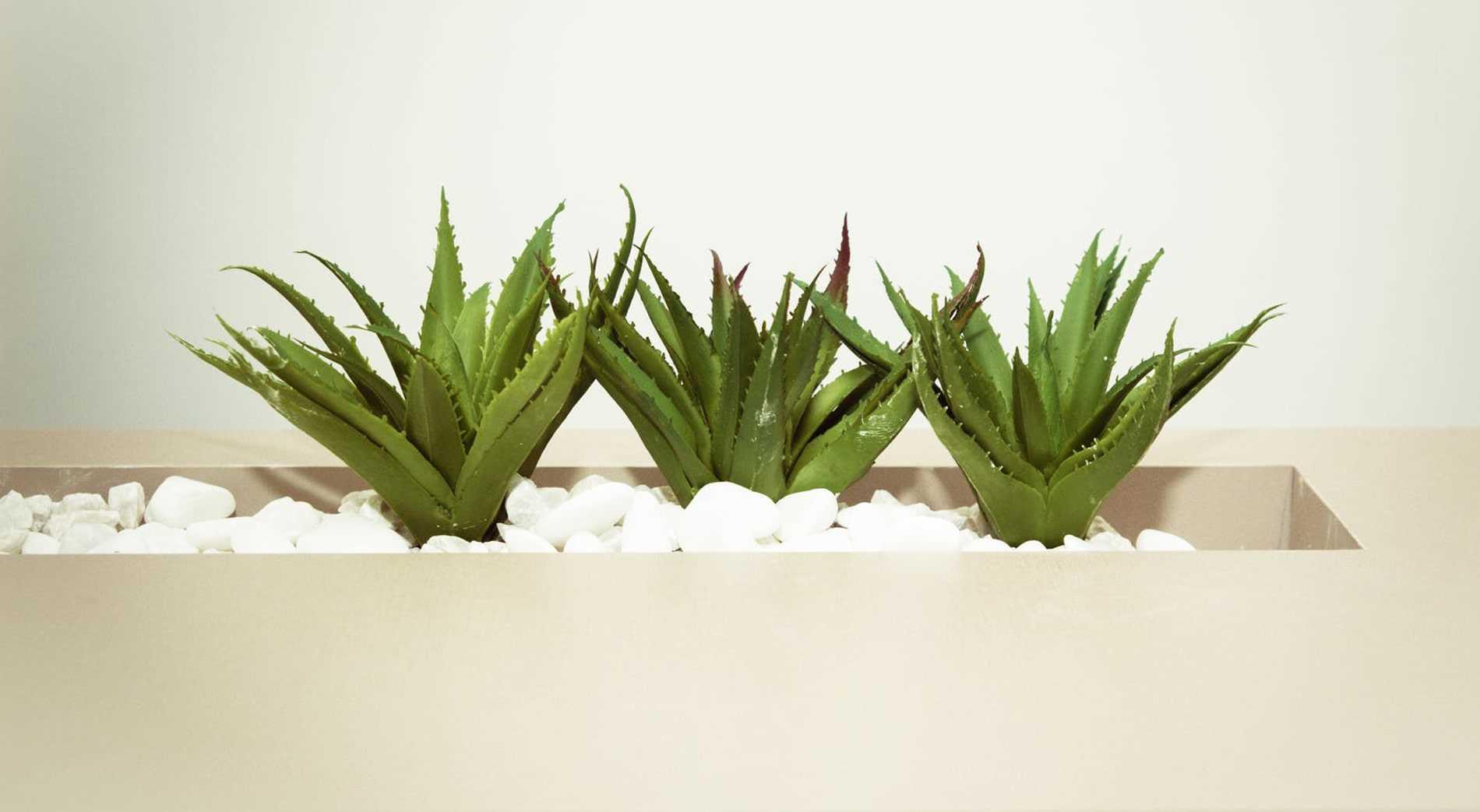 tanaman hias lidah buaya