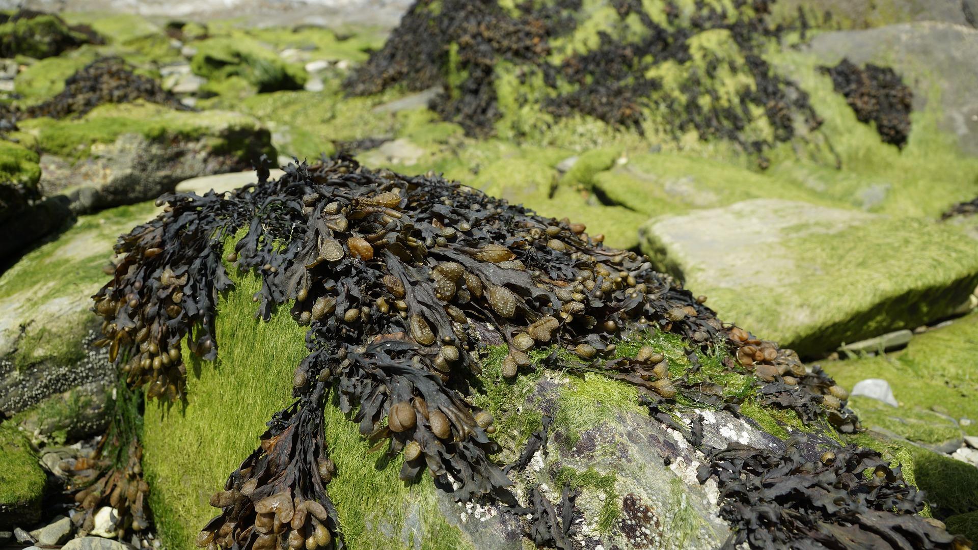 Sentuhan Rumput Laut Coklat Cerahkan Wajah image