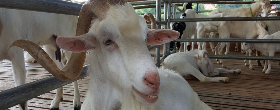 Why Rosalie Cheese's snacks are made with goat's milk? image